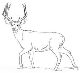 jak narysowa u0107 jelenia krok po kroku  rysowanie jelenia