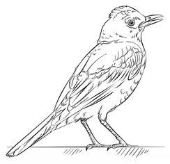 Jak narysowa ptaka Drozd krok