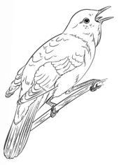 Jak Narysować Ptaka Słowik Krok Po Kroku Rysowanie
