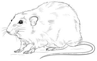 Jak Narysować Szczura Krok Po Kroku Rysowanie Szczura